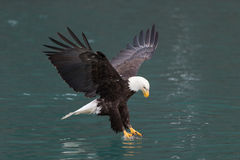 Bald Eagle flying, Homer Alaska Stock Images