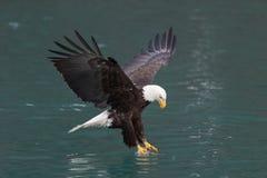 Bald Eagle flying, Homer Alaska stock images