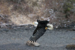 Bald Eagle flying, Homer Alaska Royalty Free Stock Photos