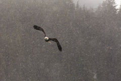 Bald Eagle flying, Homer Alaska Royalty Free Stock Images