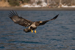 Bald Eagle flying, Homer Alaska Stock Photo