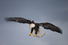 Bald Eagle flying, Homer Alaska Royalty Free Stock Photo