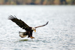 Bald Eagle flying Royalty Free Stock Image