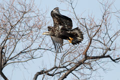 Bald eagle flying, juvenile phase Stock Images