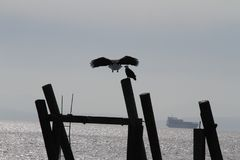 A bald eagle flying in for a landing. On a pole Stock Photo