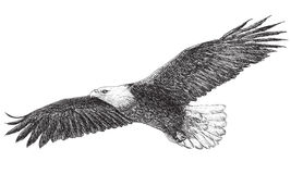 Bald eagle flying monochrome vector. Bald eagle flying hand draw monochrome  on white background vector illustration Stock Photography