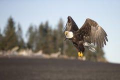Bald Eagle flying near Homer Alaska Stock Image