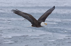 Bald eagle flying over the bay in Homer, Alaska Stock Photos
