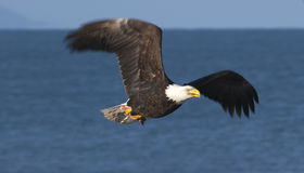 Bald eagle flying over blue water in Homer, Alaska in March Royalty Free Stock Photo