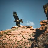 Bald Eagle flying over canyon with blue sky and clouds royalty free stock images
