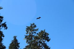 Bald Eagle Flying Over Forest in Summer near Wrangell Alaska royalty free stock images