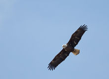 Bald Eagle flying over river. Stock Image