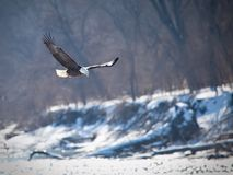 Bald eagle hunting. Bald eagle flying over water searching for fish with trees on the background Royalty Free Stock Photo