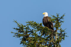 Bald Eagle flying Stock Photo