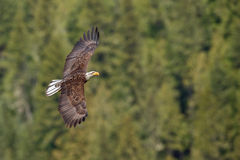 Bald Eagle flying Stock Photography