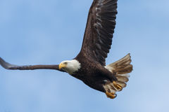 Bald Eagle flying. With a prey Royalty Free Stock Photo