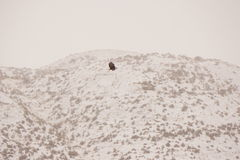 Bald eagle flying in the snow Stock Images
