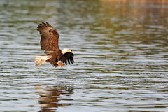 Bald Eagle flying with talons out. Stock Image