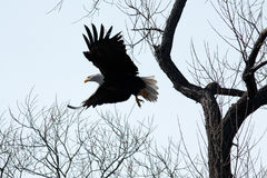 Bald eagle flying through the trees Royalty Free Stock Photography