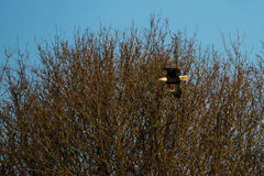Bald Eagle Flying by Treetops w/Turquoise Sky Royalty Free Stock Photography