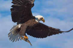 Bald Eagle Flying Wings Spread. A Photo of an American Bald Eagle in Flight with a blue sky background. The eagle is carrying a fish in its talons. The photo was Royalty Free Stock Image