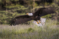 Bald Eagle in free flight Stock Photography