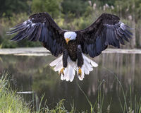 Bald Eagle in free flight getting ready to land Royalty Free Stock Photos
