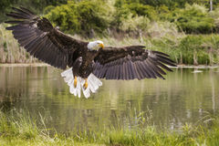 Bald Eagle in free flight over pond Stock Photos