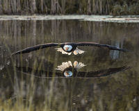Bald Eagle in free flight over pond Royalty Free Stock Photography