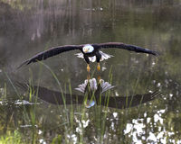 Bald Eagle in free flight over pond Stock Image