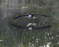 Bald Eagle in free flight Stock Photo