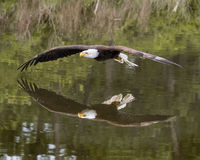 Bald Eagle in free flight Royalty Free Stock Image