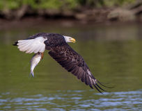Bald Eagle with Fresh Fish stock photo