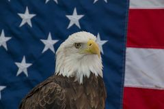 Eagle with American Flag. A Bald Eagle in front of the American Flag Royalty Free Stock Image