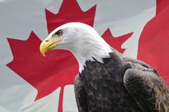Bald Eagle in front of Canadian flag. Majestic Bald Eagle looking sideways in front of Canadian flag Stock Photos