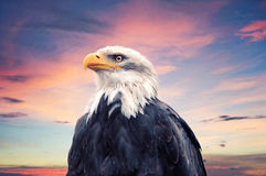 Bald Eagle. In front of sky Royalty Free Stock Image