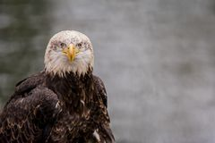 Bald Eagle in front of water. A bald eagle is sitting in front of the water Haliaeetus leucocephalus Stock Photos
