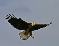 Bald Eagle Full Extension Stock Image
