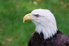 Bald Eagle Gaze Royalty Free Stock Photos