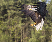 Bald Eagle gettng ready to land Royalty Free Stock Images