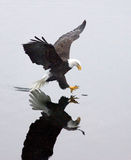 A bald eagle grabs a fish. A bald eagle, casting a mirror like reflection, is about to grab a fish Stock Photos