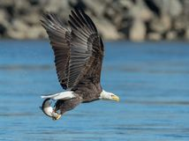 Bald Eagle. A bald eagle grabs a fish for a quick meal royalty free stock images