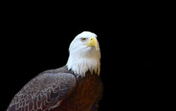 Bald Eagle. Great Bald Eagle isolated on a dark background Stock Photos