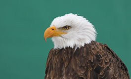 Bald Eagle on Green Stock Photo