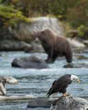 Bald eagle and grizzly bear fishing stock photo