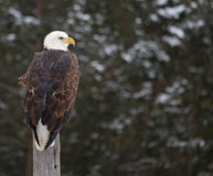 Bald Eagle on Guard Royalty Free Stock Images