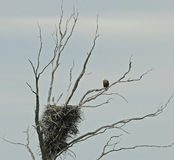 Bald Eagle guarding its nest Stock Photo