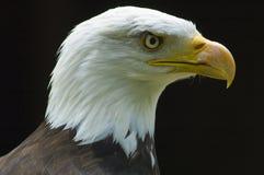 Bald Eagle - Haliaeetus leucocephalus. Bald Eagle bird of prey Royalty Free Stock Photo