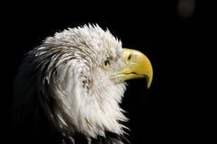 Bald eagle, haliaeetus leucocephalus. Portrait Stock Photography