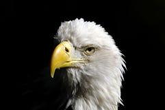 Bald eagle, haliaeetus leucocephalus. Portrait Royalty Free Stock Image